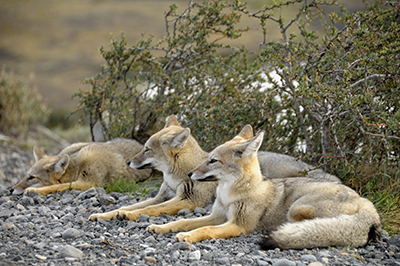 Foxes in Torres Del Paine National Park, Patagonia, Argentina